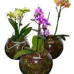miniature-phalenopsis-plant-500