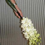 denbrobium-orhid